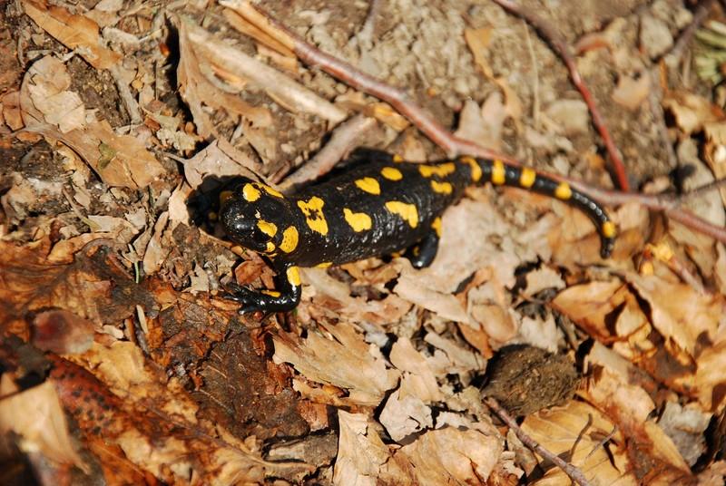 Bieszczady salamandra